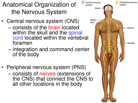 anatomical organisation of nervous system