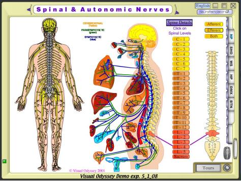 Spinal Autonomic Nerves
